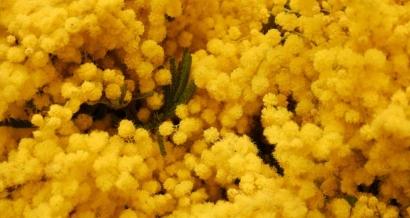 Les temps forts pour fêter le mimosa sur la Côte d'Azur