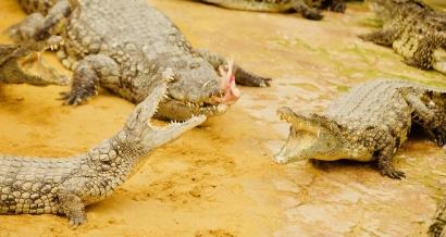 Rendez-vous en terre tropicale cet été à la Ferme aux Crocodiles