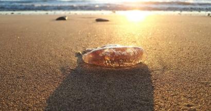 Les méduses de retour en nombre dans la baie de Marseille