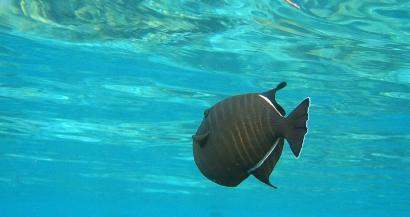 On connaît enfin l'identité du ''terrible'' poisson croqueur de baigneurs