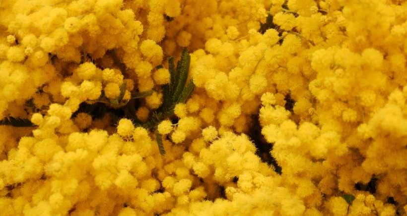 Les temps forts pour f�ter le mimosa sur la C�te d'Azur