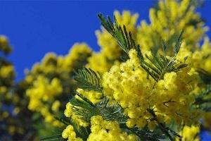 Les temps forts pour fêter le mimosa sur la Côte d?Azur