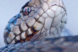 Serpents, du mythe à la réalité au Muséum départemental du Var